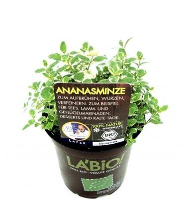 Bio Ananasminze Kräuterpflanze von LÀBiO! Kräuter auf Du und dein Garten