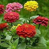 Bornbayb 200 pezzi colore misto semi di zinnia semi di giardino di fiori bellissimi semi di fiori