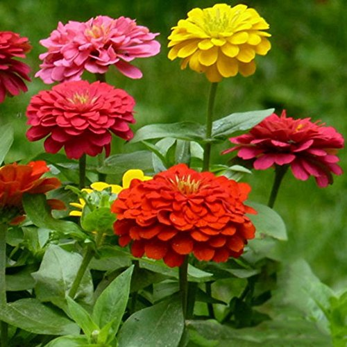 Doubleer Mixed Couleurs Zinnia Graines Vivaces Plantes 100 Pcs/Pack