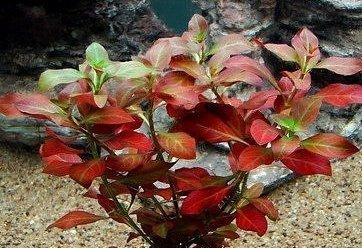 """Live Aquarium Plant """"Ludwigia natan"""" 1"""