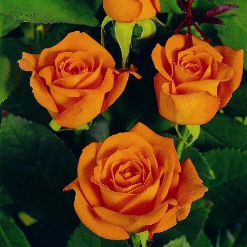 lichtnelke - Edelrose 'TEA TIME' Rose in kupfergoldorange -