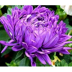 China Aster Milady lila Samen - Sommeraster chinensis