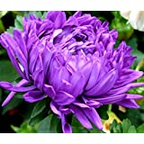 China Aster Milady Lilac seeds - Callistephus chinensis