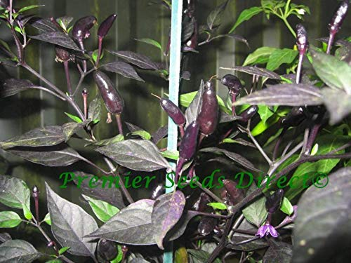 Portal Cool Gemüse Hot Chili Royal Black 600 Finest Seeds
