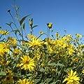 lichtnelke - Riesen-Staudensonnenblume (Helianthus atrorubens ) Monarch von Lichtnelke Pflanzenversand - Du und dein Garten
