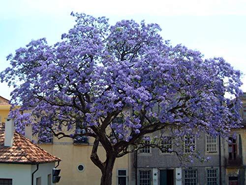 PLAT FIRM KEIM SEEDS: Am schnellsten wachsenden Baum * 1.500 + Seeds Paulownia tomentosa Princess Bulk-Blume