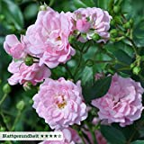 Kletterrose 'Super Fairy' (Premium) - rosa blühende Topfrose im 6 L Topf - frisch aus der Gärtnerei - Pflanzen-Kölle Gartenrose