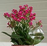 Blumendurstkugeln aus Glas 5 x d 9cm mundgeblasen handgeformt Wasserspender Durstkugeln Lauschaer Glas das Original