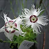 Müllers Grüner Garten Shop Sandnelke Nelke Dianthus arenarius weiße duftende Blüte Staude im 0,5 Liter Topf
