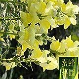 Vista Zeitbegrenzt Ausgeschlossen Regelmäßig Verschönerung Gemäßigt Hochwertige Saflorakazie Kaschmir Blumen 50 Samen (er Huan) Gelb