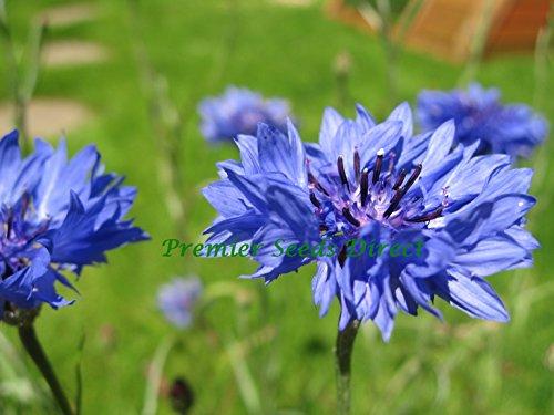 cornflower-centaurea-cyanus-blue-boy-800-finest-seeds