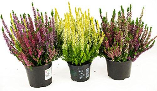 Herbst Blumen Set Nr.7 Calluna vulgaris Trios Milka & Wildbeery & Besenheide gelb