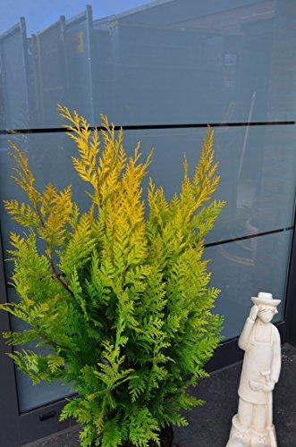 goldgelbe Scheinzypresse Chamaecyparis lawsoniana Stardust 60-80 cm hoch im 5 Liter Pflanzcontainer