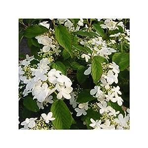 Boule de neige - Viburnum plicatum 'Watanabe'