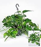 BALDUR-Garten Hängepflanze Efeutute, 1 Pflanze Zimmerpflanze Scindapsus