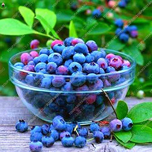 pinkdose 50pcs blueberry bonsai fruit tree highbush mirtilli diy piante di corteccia di giardino per giardino facile da coltivare per la decorazione invernale: blu