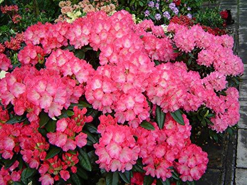 Bio-Saatgut Nicht nur Pflanzen: Rhododendron Fantastica - # 2 Container - Pink Blüten! - Hardy bis -15 F by FäHRE