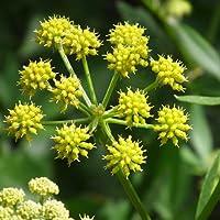 Levisticum Officinale Seeds