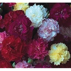 Nelke - Dianthus Border Mix - 30 Samen