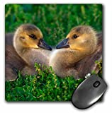 Danita Delimont - Geese - USA, California, Lakeside, Canada Goslings that form a heart. - MousePad (mp_205894_1)