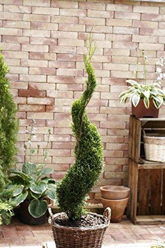 Garten Bonsai Formschnitt Spirale aus Thuja occ. Smaragd, Bestseller 50-60cm 2L
