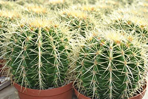 Echinocactus grusonii,Schwiegermutterstuhl,groß+kräftig,15cm Durchmesser
