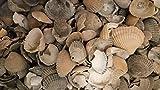 500g - Muscheln zum Streuen Dekosteine Dekokies Streudeko Granulat Dekoartikel Dekomuscheln