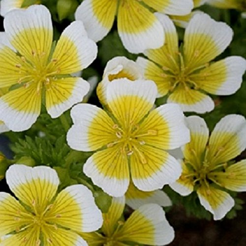Limnanthes douglasii 200 graines