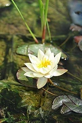 Gelbe Zwerg-Seerose / Nymphaea pygmaea ´Helvola´ Miniseerose im 9x9 cm Topf von WFW wasserflora bei Du und dein Garten