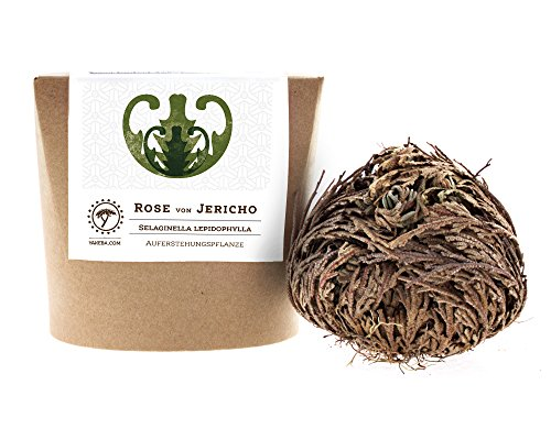 Yakeba | Rose von Jericho | Selaginella lepidophylla | Klein | Geschenkkarton