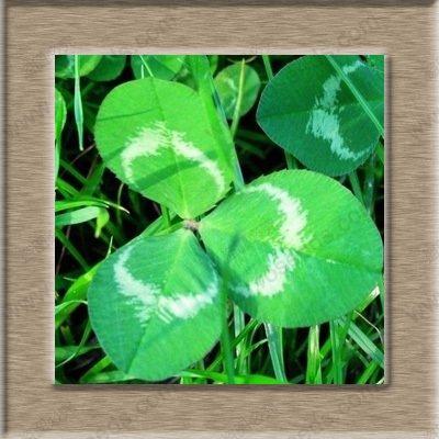 graines de trèfle vivaces herbe verte bonsaï pour la maison jardinage décoration graines 100 pcs / sac