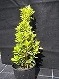 Portal Cool Euonymus japonica Evonimo giapponese Varigato mandrino