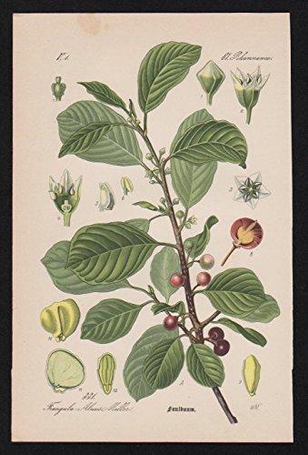 Grafik Faulbaum Rhamnus frangula Lithographie Kräuter Heilkräuter herbs herbal