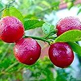 #5: NooElec Seeds India Red Lemon Dwarf Plant 5 Seeds