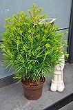 Japanische Schirmtanne Sciadopytis verticillata 50-60 cm hoch im 5 Liter Pflanzcontainer