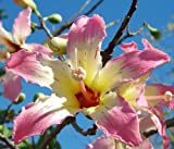 Chorisia speciosa @@ exótico árbol en flor botella de seda de la seda de semillas de baobab 5 semillas