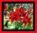 """Lilium asiatic - Asiatische Lilie """" Rot """" von GHA-Thulke bei Du und dein Garten"""