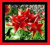 Lilium asiatic - Asiatische Lilie ' Original Love '