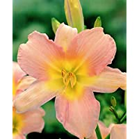 Hemerocallis, Daylily Catherine Woodberry / Hemerocallis, Daylily Catherine Woodberry - bulbo / tubérculo / raíz