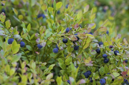 bilberry-sylvana-a-young-plant-in-a-06-l-container