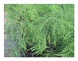 Asparagus virgatus - Tiki Farn - Besen Farn - 10 Samen