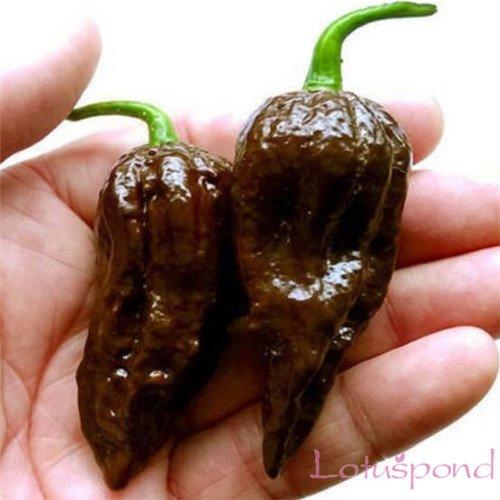 20 Chocolate jamaïcaine Super Hot Pepper Bhutlah Graines Heirloom légumes Chili