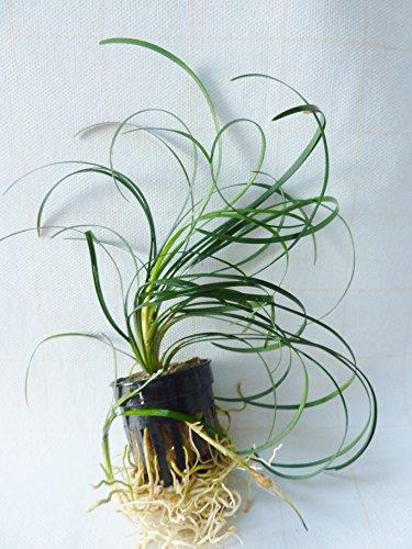 Mondo Grass - Ophiopogon japonicus