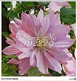 50pcs/bag multicolore semi clematis, veri rare semi di piante clematide, bonsai bulbi clematis filo pianta di loto,