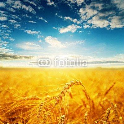 alu-dibond-bild-100-x-100-cm-field-with-golden-harvest-and-sunset-bild-auf-alu-dibond