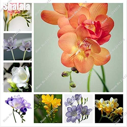 Shoopy Star 120 PCS principal parfum Lily semences de plantes de jardin Graines de fleurs Bonsai Lily