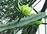 Cereus peruvianus is a large, erect, thorny columnar cactus .