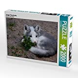 Junger Polarfuchs 2000 Teile Puzzle quer (CALVENDO Tiere)