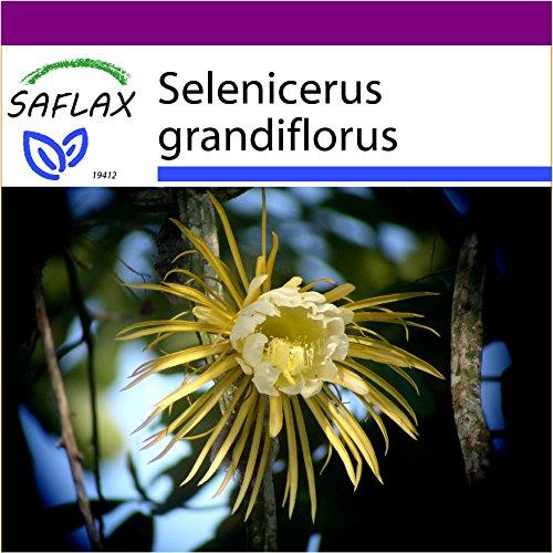 SAFLAX - Big Garden - Kakteen - Königin der Nacht - 40 Samen - Selenicerus grandiflorus
