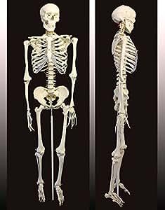De grandeur naturelle Humain Squelette 180cm Avec Rack Fixation A01